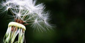 Pusteblume als Symbol für Resilienz und Salutogenese