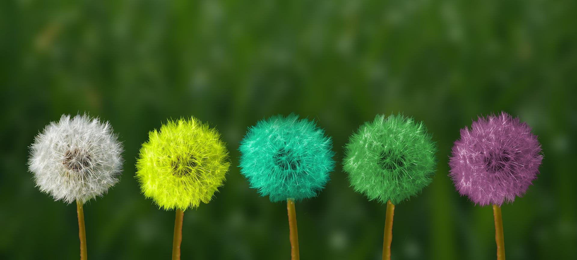 Pusteblumen in verschiedenen Farben